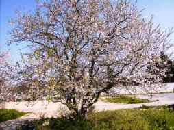 imagen tomada a primeros de Febrero. Ya florecieron los almendros. Andalucia