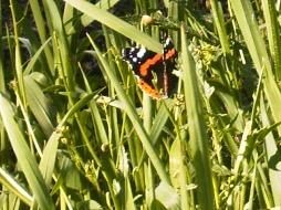 Mariposa emperador abundante en Mexico y habitual en Andalucia